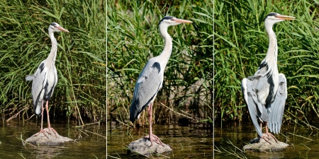 ardea cinerea: A Set of Three Photographs of Gray Heron (Ardea Cinerea)