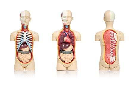 Three views of a model of human body showing internal organs