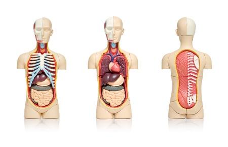 organi interni: Tre viste di un modello del corpo umano che mostra gli organi interni