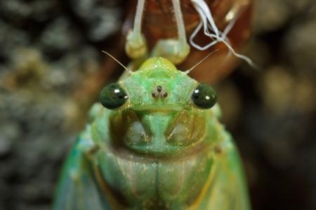 molting: Portrait of a cicada Tibicen pruinosus Stock Photo