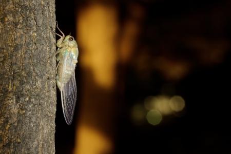 cigarra: Tibicen pruinosus cigarra después de la muda en un árbol