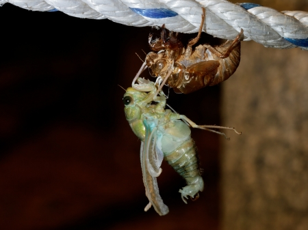 The last birth (molting Tibicen pruinosus cicada) photo