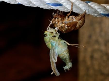 molting: The last birth (molting Tibicen pruinosus cicada) Stock Photo
