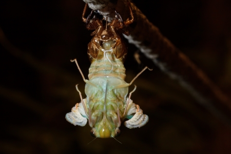 The last birth (closeup of molting Tibicen pruinosus cicada) photo