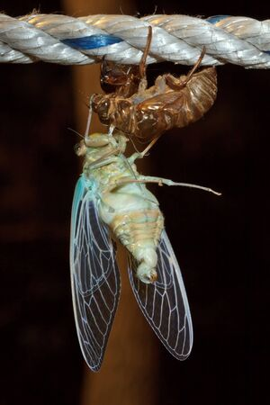 Macro photo of cicada (Tibicen pruinosus) during molt photo