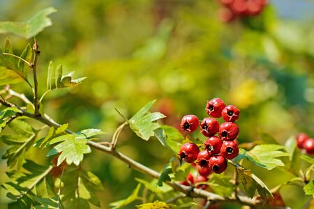 geen: A bunch of red berries on a blurry leaves background Stock Photo
