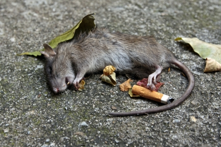 dead rat: A dead rat near the stub of a cigarette