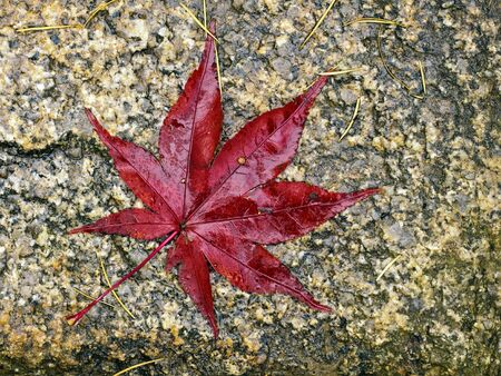 acer palmatum: A fallen wet red maple leaf on a dirty stone Stock Photo