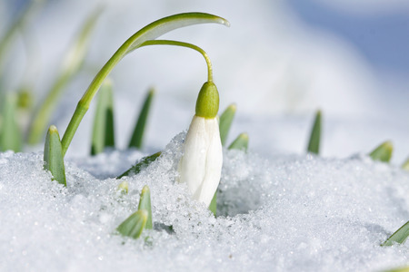 bourgeon: Single spring snowdrop flower with snow in the garden Stock Photo
