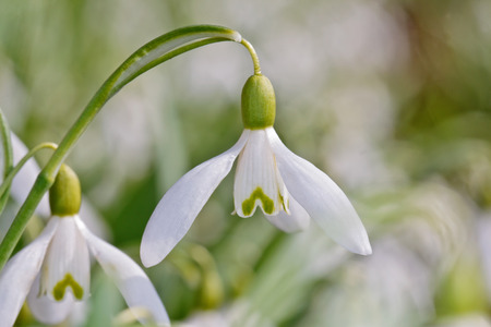 galanthus: A single snowdrop flower  Galanthus nivalis  on a blurry