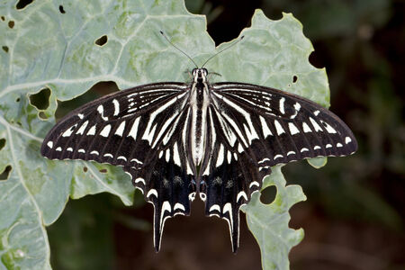 Swallowtail butterfly (lat. Papilio xuthus) on a cabbage leaf photo