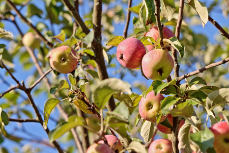 dangling: Ripe apples dangling on apple tree branches with selected focus Stock Photo