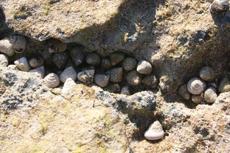 A group of sea snails in a rock crevice on the coast of Majorca, Balearic island, Spanien