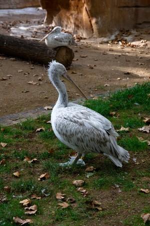 Pelican in Barcelona zoo