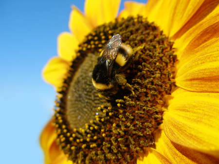 Sunflower with bumblebee against blue sky photo