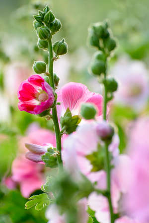 hollyhock: Hollyhock close up Stock Photo