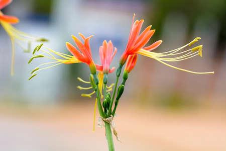 breezy: Eucrosia bicolor Stock Photo