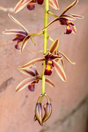breezy: Cymbidium aloifolium Stock Photo