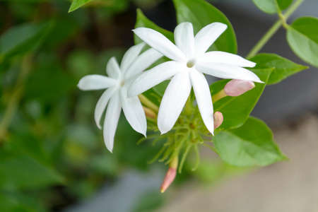 Forest Jasmine Stock Photo