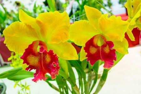 cattleya: Cattleya orchid