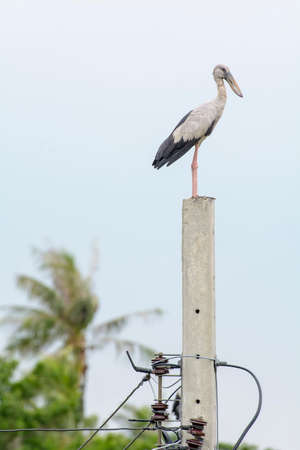 ardeidae: Heron or Bittern is prominent on the electricity post.