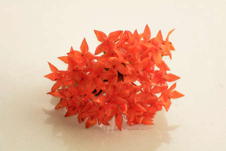 stiff: Frozen Ixora flower so it look stiff Stock Photo