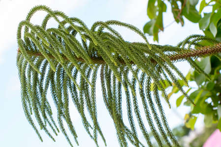 distinctive: Araucaria heterophylla or star pine triangle tree or living Christmas tree is a distinctive conifer.