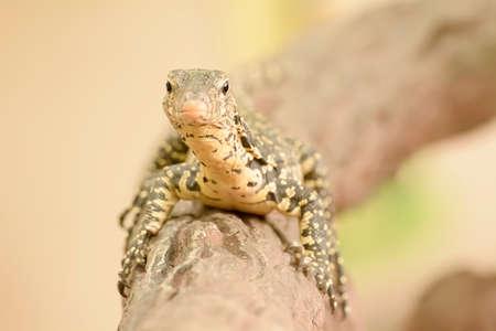 salvator: Water monitor or Varanus salvator is a large lizard.