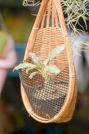 plantando arbol: Mimbre o de cester�a para la plantaci�n de �rboles.