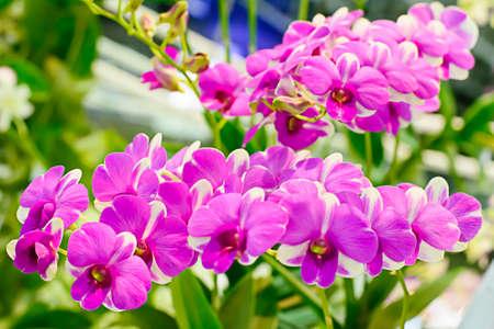 orchidee: Orchidea