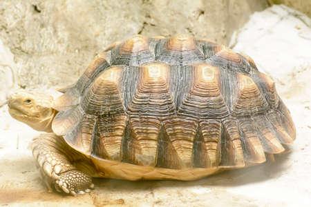 radiated: The radiated tortoise take in a zoo Stock Photo