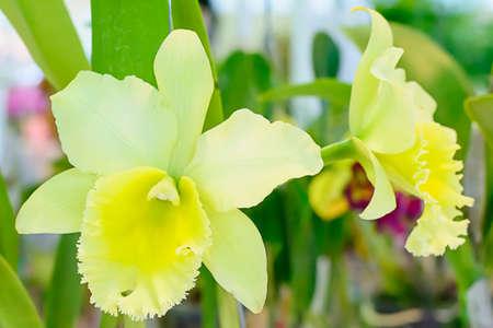 cattleya orchid: Cattleya orchid