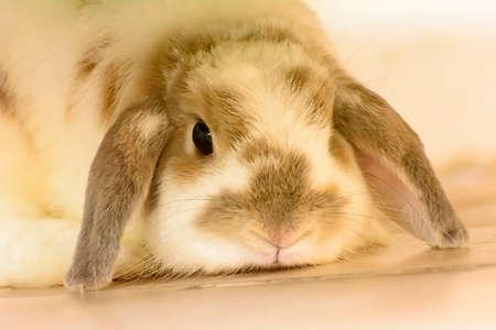 big eye: Rabbit