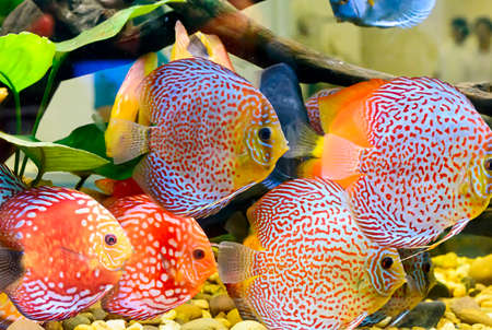 pompadour fish: The fish in the cabinet, bright colors.