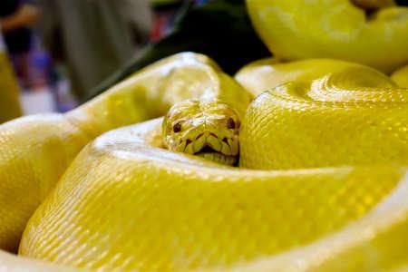 albino: Albino Burmese python