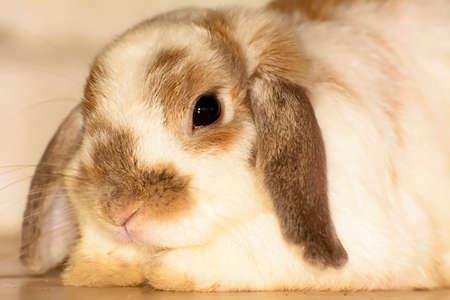 big ear: Rabbit
