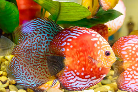 ranchu: The fish in the cabinet, bright colors.