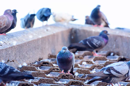 Pigeon Stock Photo - 49151995