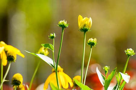 coneflowers: Yellow coneflowers Stock Photo