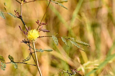 sensitive: Sensitive plant flower
