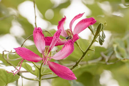 purpurea: Phanera Purpurea Or Butterfly Tree Or Orchid Tree