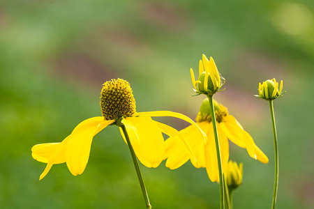 coneflowers: Yellow coneflowers in the garden on nature background. Stock Photo