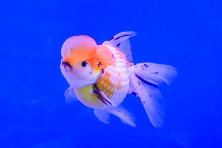 ranchu: The goldfish isolated in the water background.