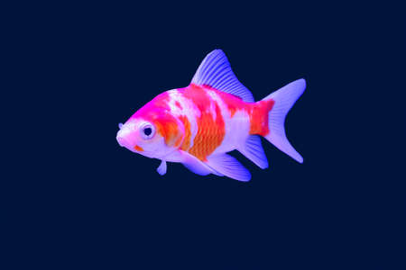 pompadour fish: The fish in the cabinet, bright colors. Clipping inside.