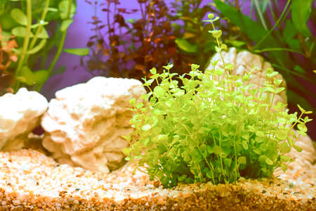 aquatic plant: The water plant or aquatic plant or aquatic weed in the cabinet. Stock Photo