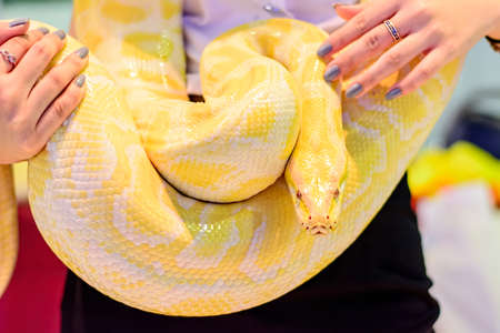 burmese: Albino Burmese python as a pet tame. Stock Photo