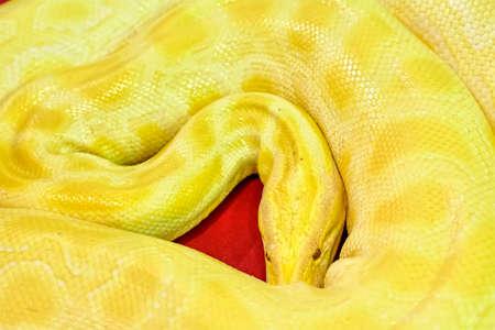 Albino Burmese python as a pet tame. Stock Photo