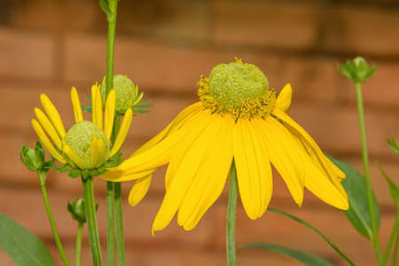 Yellow coneflowers in the garden on nature background. Stock Photo