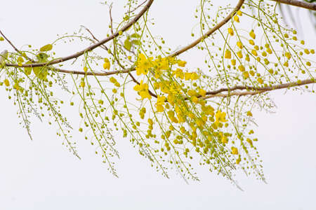 fabaceae: Cassia fistula, known as the golden shower tree and by other names, is a flowering plant in the family Fabaceae. Stock Photo