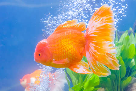 ranchu: The goldfish in the water, in the cabinet.